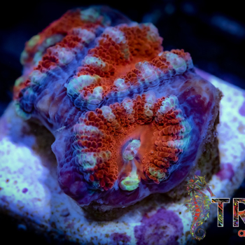 TRSC Peppermint Striped Acan F06