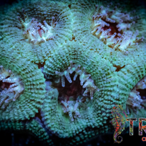 Green and Red Acan F08