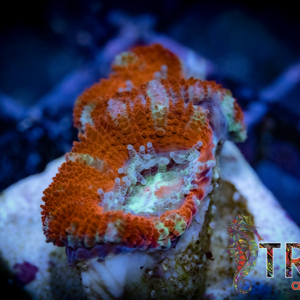 TRSC Fire and Ice Acan F10
