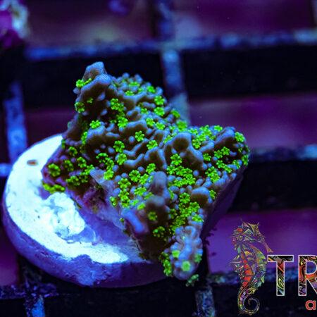 Tubbs Stellata X04