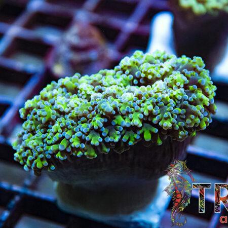 Frogspawn D03