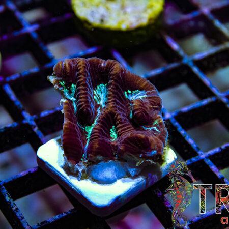 Maze Brain Y02