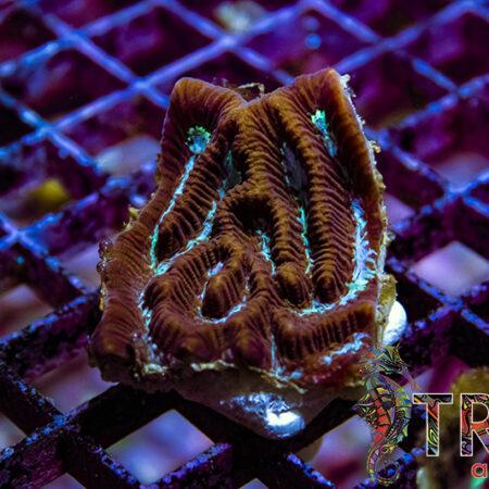 Maze Brain Y08