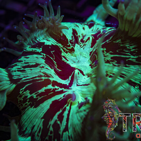 Coral Special 01