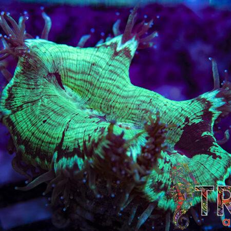 Coral Special 02