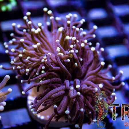 Coral Special 07