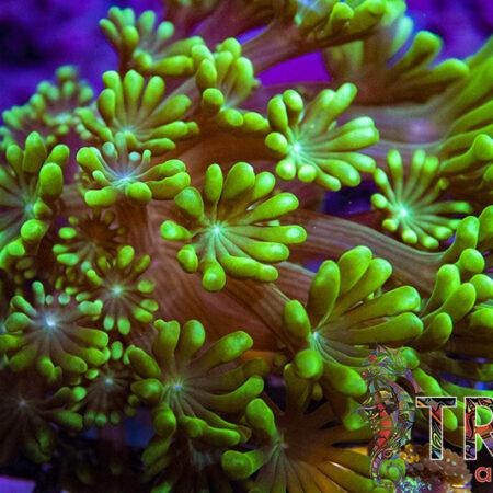 Coral Special 10