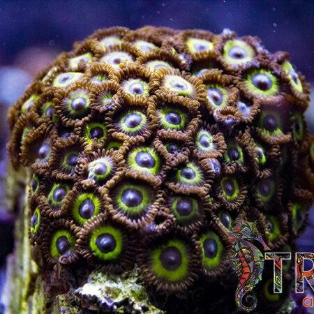 Coral Special 11