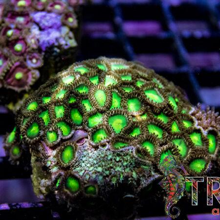 Coral Special 14