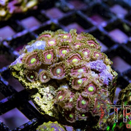 Coral Special 15